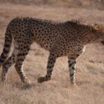 Cheetah Close up - TASA Tours and Travel