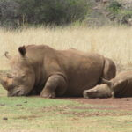 Rhino_Calf_Mother_TASA_Tours_and_Travel