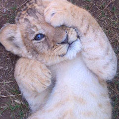 Lion_Cub_Rhino_Lion_Park_Gauteng_Tour